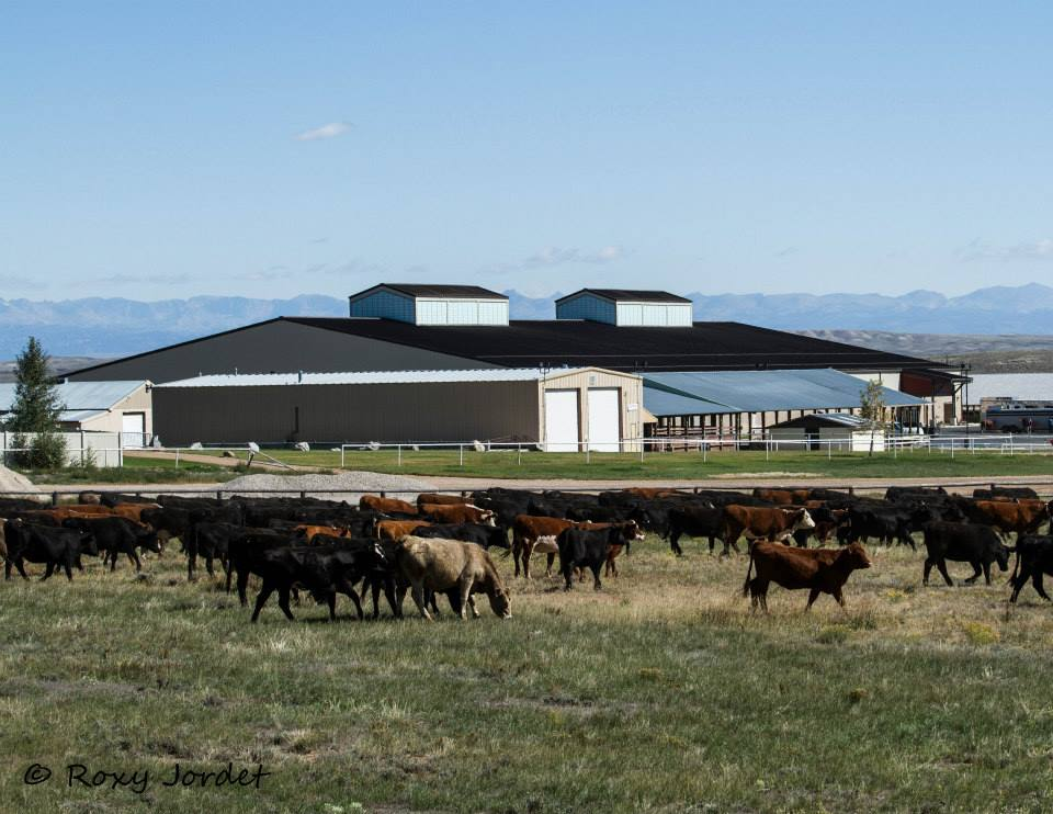 Wyoming Cutting Horse Association Cattle on the Grounds